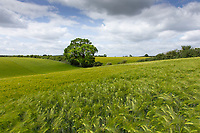 Winter Barley field <br /> ©Tim Scrivener Photographer 07850 303986<br />      ....Covering Agriculture In The UK....