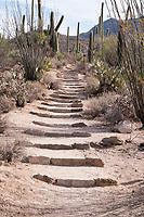 A trail goes through saguaro cactus in the hills of Saguaro National Park West (Tucson Mountain District) near Tucson, Arizona, USA.