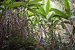 Ken Moritsugu walks amongst banana trees in a forest in Luang Namtha, Laos on Novemeber 11, 2009.   (Photo by Khampha Bouaphanh)