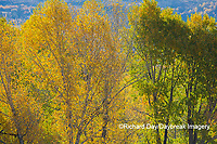 67545-09407 Trees and fall color, Grand Teton National Park, WY