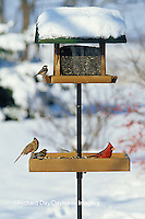 00585-02916 Northern Cardinal male & female, American Goldfinch & Carolina Chickadee on tray & hopper feeder in winter Marion Co.   IL