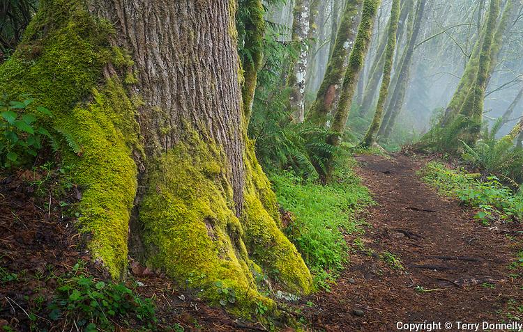 Vashon Island, Washington:<br /> Mossy alder forest in fog, early spring, Shinglemill Creek natural area