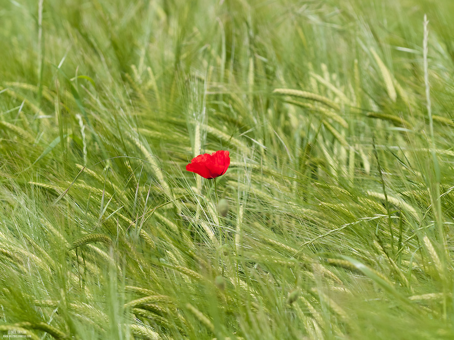 A Lone Common Poppy {Papaver rhoeas} Amongst a Sea of Wheat at Ranscombe Farm, Cuxton, Kent