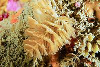 Spiral-bryozoan christmas tree, Bugula turbinata, Bay of Morlaix, off Carantec, North of Brittany, North of France, Atlantic Ocean, Europe
