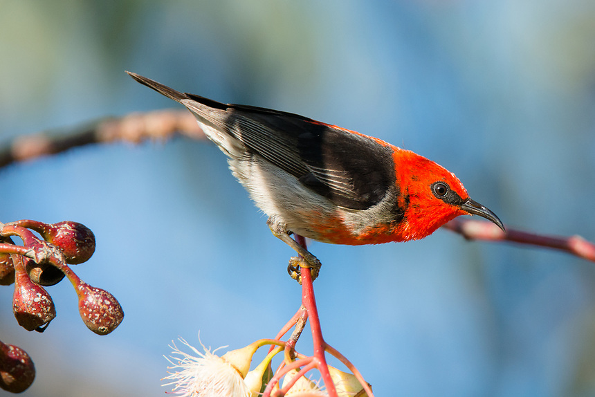 Scarlet Honeyeater, Fyansford, Victoria.