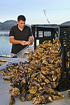 Neal Maloney, owner of Morro Bay Oyster Company, cleaning oysters at his schucking table on his barge in Morro Bay, California