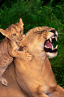 656259341  an african lion cub panthera leo pulls its mothers ear during a play session in their enclosure at a wildlife rescue facility the animals are wildlife rescuie animals
