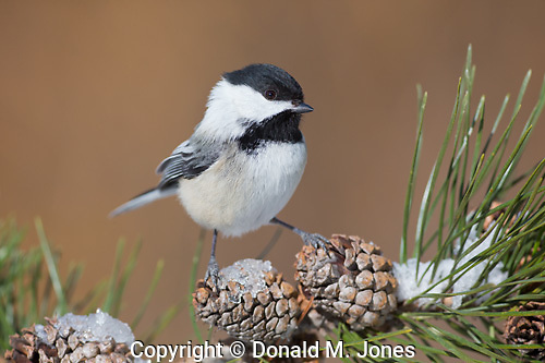 Black-capped Chickadee (Poecile atricapilla)