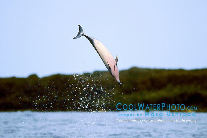 long-snouted spinner dolphin calf leaping, Stenella longirostris, Big Island, Hawaii, Pacific Ocean