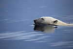 Polar bear swimming in Wager Bay in Nunavat, Canada. Wager Bay in Hudson Bay is one of the last places ice melts, so it is a gathering place for the polar bears. They go to there to extend their hunting time and swim from island to island and island to ice floe.