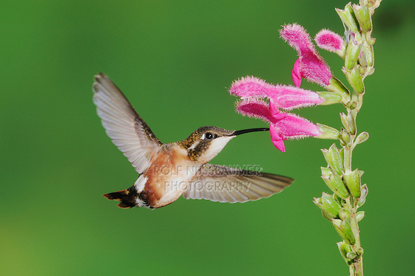 White-bellied Woodstar (Chaetocercus mulsant), female feeding on sage flower,Papallacta, Ecuador, Andes, South America