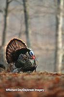 00845-016.12  Eastern Wild Turkey (Meleagris gallopavo) gobbler (male) strutting, Stephen A. Forbes SP, Marion Co.  IL
