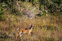 Florida Key Deer (white-tail) doe, National Key Deer Refuge, Florida Keys.