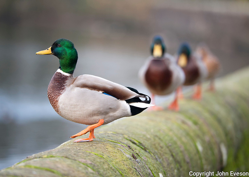 Male Mallard duck on the wall of the mill pond, Chipping, Lancashire.