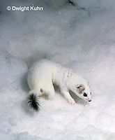 MA28-136z  Short-Tailed Weasel - ermine exploring in winter, camouflaged - Mustela erminea