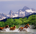 Horses running through a river in Washington. (composite)