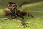Anole lizard, Norops bombiceps, on leaf in jungle, Iquitos, Northern Peru, South America, diamond pattern on back. .Peru....