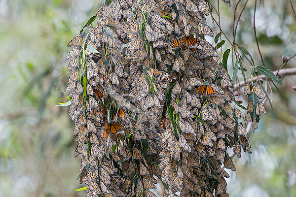 Western Monarch Butterflies (Danaus plexippus) in wintering cluster, coastal California.  When all the monarchs have their wings folded in cool weather the cluster looks like a bunch of dead leaves.