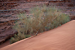 Plants growing in the desert at Wadi rum