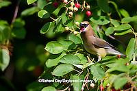 01415-03005 Cedar Waxwing (Bombycilla cedrorum) eating berry in Serviceberry Bush (Amelanchier canadensis), Marion Co., IL
