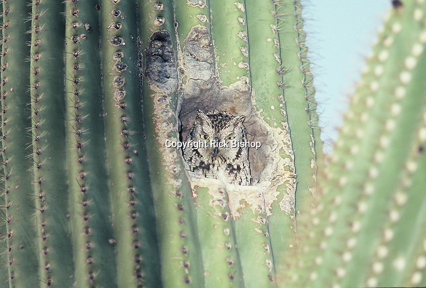 Western Screech-Owl seen in a hole in a saguaro cactus in southern Arizona