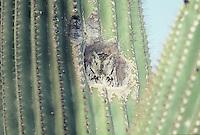 Western Screech-Owl seen in a hole in a saguaro cactus in southern Arizona