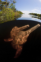 RB1343-D. Amazon River Dolphins (Inia geoffrensis), also called Boto or Pink River Dolphin. Split &ldquo;over under&rdquo; view. Digital composite. Rio Negro, Brazil, South America.<br /> Photo Copyright &copy; Brandon Cole. All rights reserved worldwide.  www.brandoncole.com