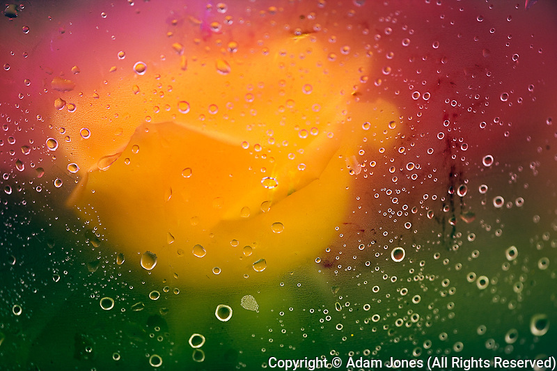 Rose viewed through paper covered in dew drops, Maine