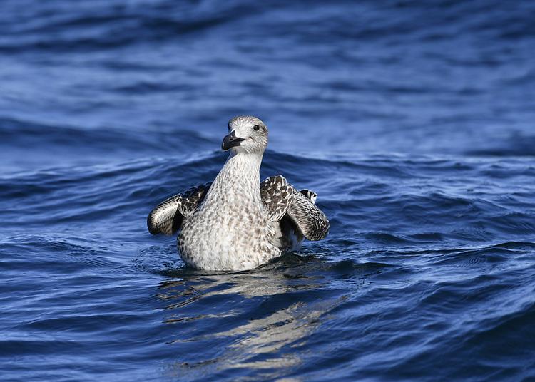 Great Black-backed Gull - Larus marinus<br /> juvenile