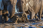 Botswana, Central District, African bush elephant (Loxodonta africana) in waterhole