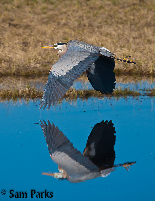 Great blue heron in flight. Yellowstone National Park, Wyoming.