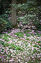 Fallen magnolia flowers in the Garden of Allah, Borde Hill Gardens, Sussex, early April.