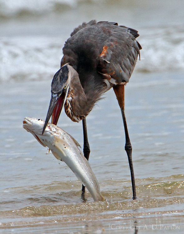 Great blue heron with fish that proved to be too big to swallow