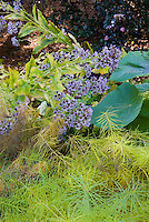 Aster tatarius with Amsonia hubrechtii in autumn color and Pawlonia tree leaves