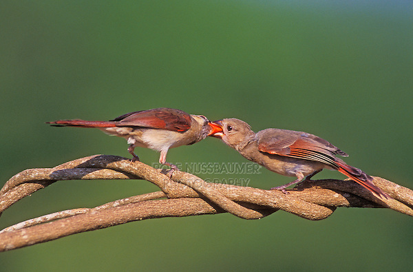 Northern Cardinal, Cardinalis cardinalis,female feeding young, Lake Corpus Christi, Texas, USA, May 2003