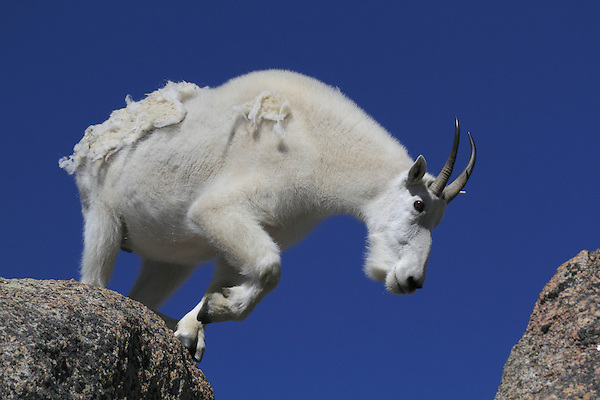 Getty Images exclusive, Billy Goat (Oreamnos americanus) on the summit of Mount Evans (14250 feet), Rocky Mountains, west of Denver, Colorado, USA Private photo tours to Mt Evans. .  John leads private, wildlife photo tours throughout Colorado. Year-round.