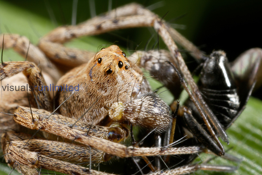 Lynx Spider (Oxyopes) with prey.