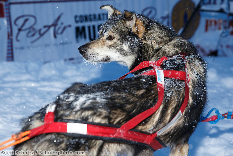 Charlie Bejna dog in the Nome finish chute Friday March 14 during the 2014 Iditarod Sled Dog Race.<br /> <br /> PHOTO (c) BY JEFF SCHULTZ/IditarodPhotos.com -- REPRODUCTION PROHIBITED WITHOUT PERMISSION