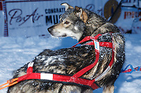 Charlie Bejna dog in the Nome finish chute Friday March 14 during the 2014 Iditarod Sled Dog Race.<br />