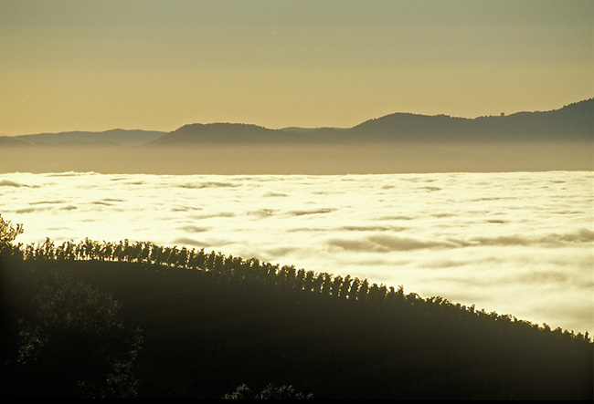 Spring Mountain vineyard silhouetted against fog of Napa Valley, below.
