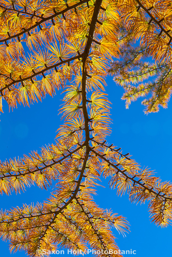 Pseudolarix amabilis - Golden Larch tree, with deciduous needles in fall color; Arnold Arboretum