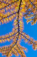 Pseudolarix amabilis - Golden Larch tree, with deciduous needles in fall color; Arnold Arboretum