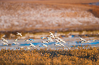 Willow ptarmigan flock in flight over arctic tundra, Alaska.