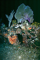 MARINE LIFE: SHIPWRECKS, REEFS &amp; DIVERS<br /> Sponges, sea fan, &amp; soft coral grow on shipwreck<br /> Coral reef organisms grow on shipwreck remains.