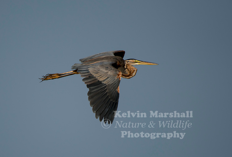 Purple heron (Ardea purpurea) is a wading bird in the heron family Ardeidae, breeding in Africa, central and southern Europe, and southern and eastern Asia. The European populations are migratory, wintering in tropical Africa; the more northerly Asian populations also migrate further south within Asia. It is a rare but regular wanderer north of its breeding range. Bundala National Park - Sri Lanka.