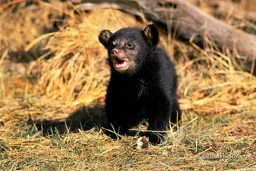 Bear cub (captive), Colorado.