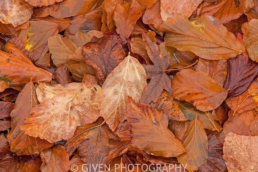 Persian Ironwood leaves
