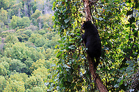 Stock photo: Black bear climbing on a tree branch in a valley of the great smoky mountain national park, Tennessee, US.