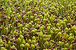A patch of rare insectivorous California pitcher plants (Darlingtonia californica) grows in a bog in the Smith River National Recreation Area, Six Rivers National Forest, California
