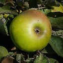 Apple 'Broad-Eyed Pippin', late September. An English culinary apple so-called because of its large open eye set in a deep basin. Origin uncertain.
